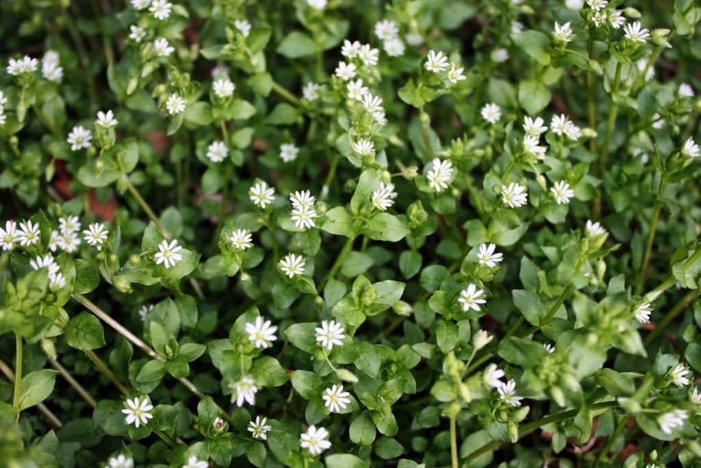 Weeds with Benefits: Chickweed