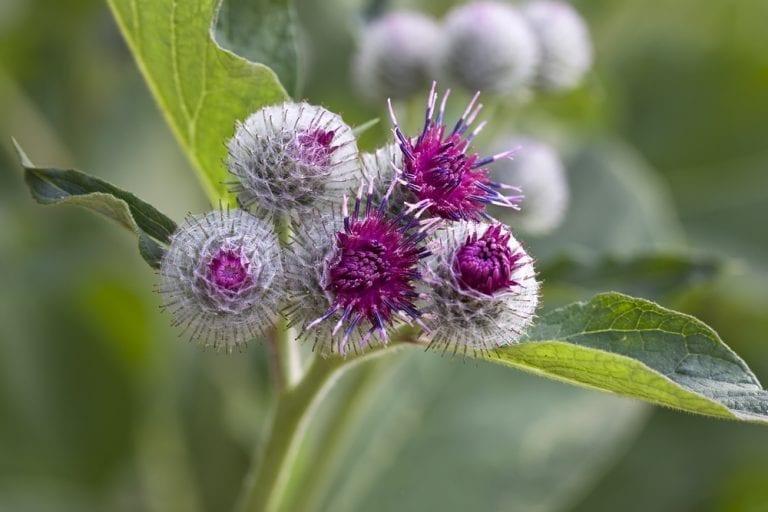 Weeds with Benefits: Burdock