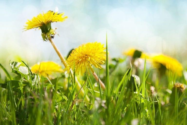 Weeds with Benefits: Dandelion