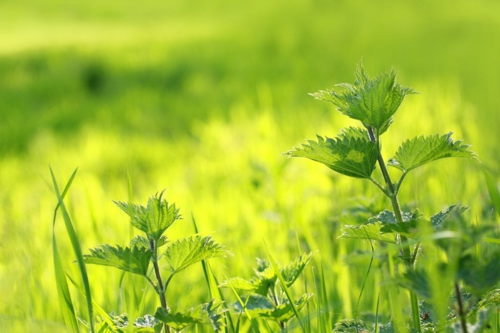 Weeds with Benefits: Stinging Nettles