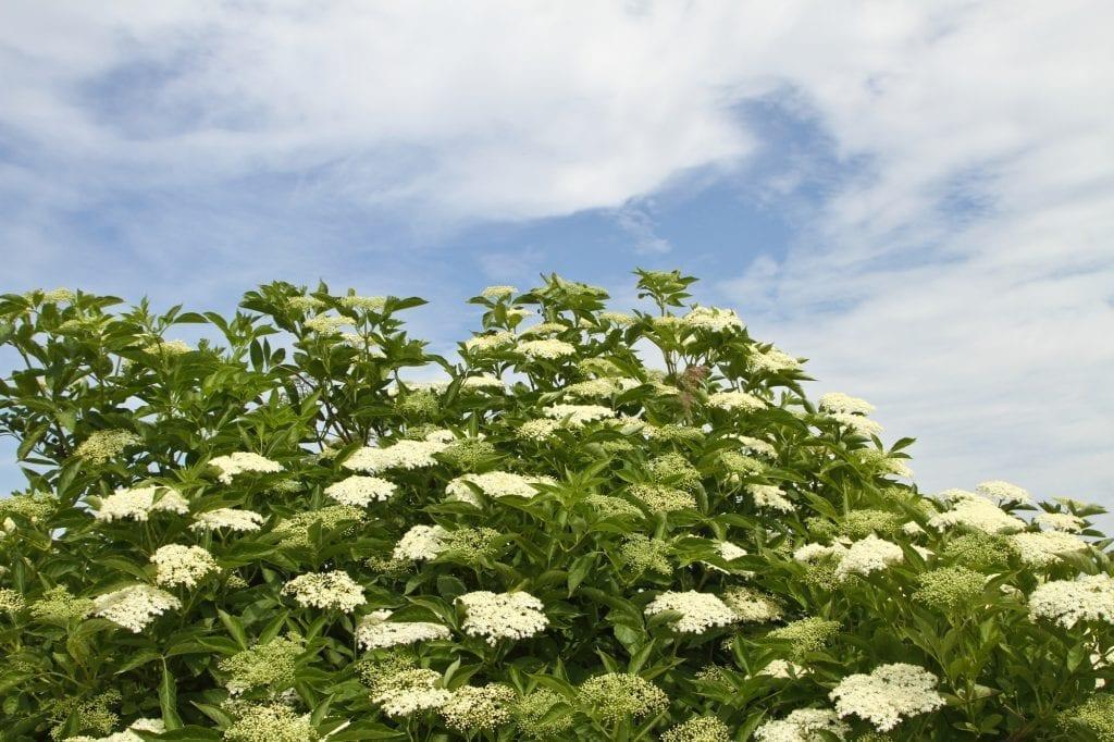 Weeds with Benefits: Elderflowers