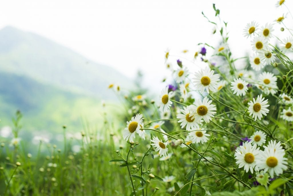 Weeds with Benefits: Daisies