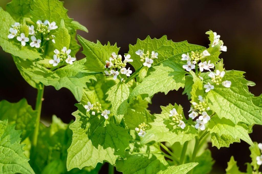 Weeds with Benefits: Garlic Mustard