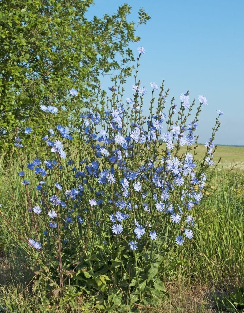 Weeds with Benefits: Chicory